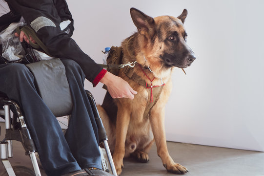Shepherd, service dog with the owner the invalid wheelchair user