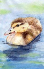 The duckling floats on the water. Duckling of the duck. Watercolor. Use printed materials, signs, items, websites, maps, posters, postcards, packaging.