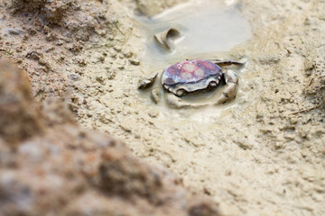 Died Crab on the mud