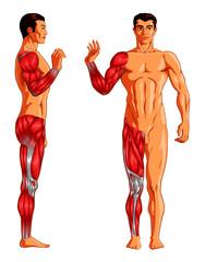 Human Limb Muscles