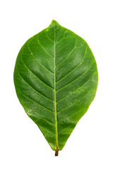 green Indian-almond leave - clipping path