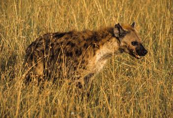 Poster Hyène Hyène tachetée, Crocuta crocuta, Kenya