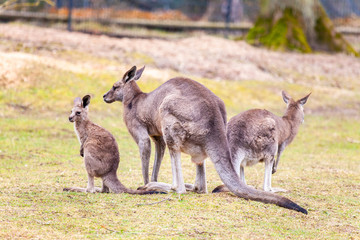 kangaroo family on grassland in a park