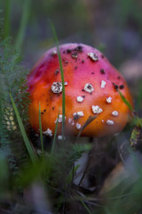 Beautiful mushroom in the forest. Amanita Muscaria, poisonous mushroom. Natural composition