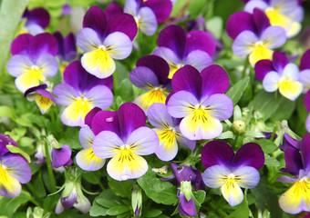 Fleurs de Viola cornuta