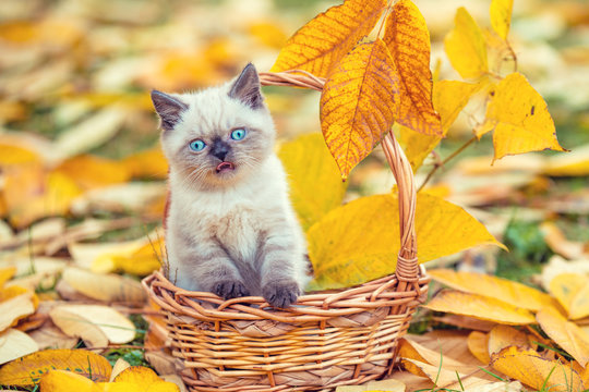 Little kitten sitting in a basket in the garden on the fallen leaves in autumn