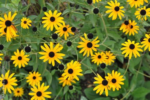 Gelbe Blume Blätter Schnittblume Garten Sonnenhut Margerite Stock