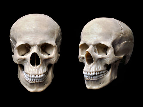 Anatomically correct human skull model isolated on black background