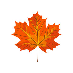 Autumn maple leaf.