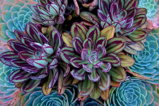 Painted Echeveria (E. nodulosa) - a variety of succulent.