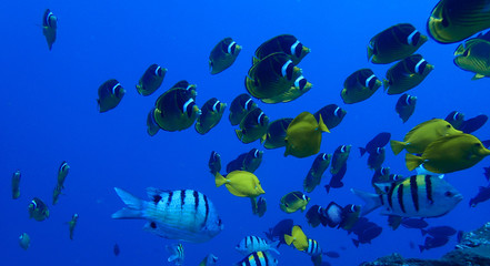 Raccoon Butterfly Fish and Other Tropical Fish Underwater in Blue