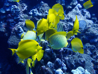 Close Up Group of Yellow Tropical Fish Butterfly and Tang on Reef