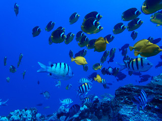 Many Tropical Fish Butterflies and Tangs Swim Over Reef in Blue Ocean