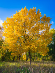 Yellow autumn maple standing alone in the field.