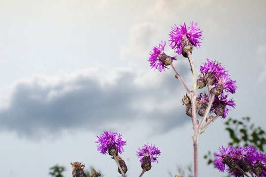 Bright Purple Spotted Knapweed Blossoms Against Soft Grey Cloudy Summer Sky