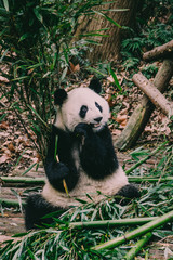 Chinesische Pandas