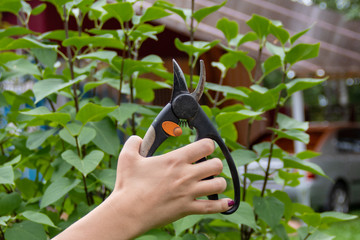 Fototapeta Garden tool pruner in hand on branch background