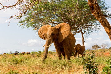Elephants in Kenya, Africa