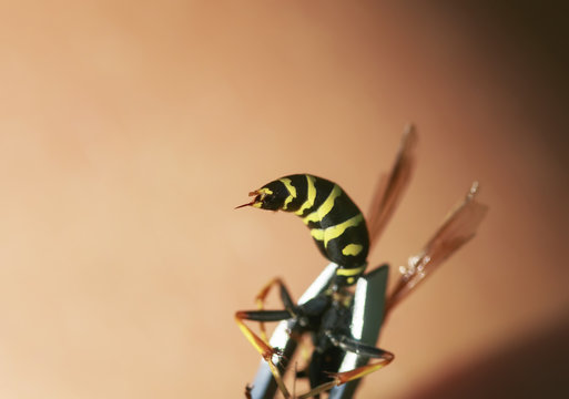 close - up of the wasp abdomen with a venomous sting protruding is clamped in metal forceps
