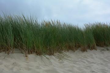 Printed roller blinds Landscapes Strandhafer in den Sanddünen an der Nordseeküste mit blauem Himmel