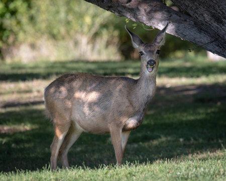Mule deer eating apple