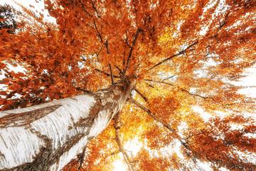 Baumkrone einer großen Birke mitten im Herbst. Laubfärbung in Orange.