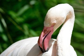 Close up portrait of a flamingo