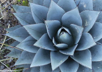Close-up of Parry Agave Plant