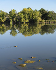Fall Cottonwood Trees with Duck and Water Reflections