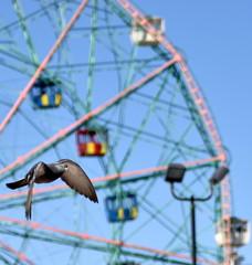A dark pigeon flies across a ferris wheel against a clear blue sky
