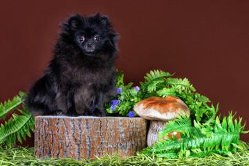 Black Pomeranian spitz on stump on brown background.