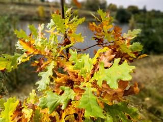 yellowing oak leaves
