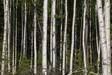 Birch trees in bright sunshine in late summer. Trees in a forest. birch trees trunks - black and white natural background. birch forest in sunlight in the morning.