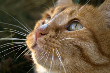pensive muzzle of a red cat