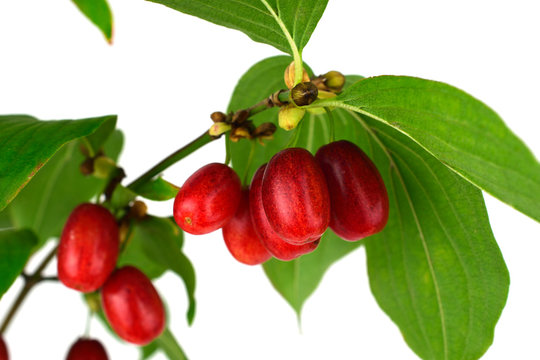 Cornus Culinary and Medicinal Herb Plant. Also Cornelian Cherry, European Cornel or Cornelian Cherry Dogwood. Isolated on White Background.