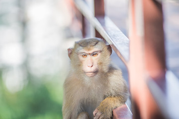 The background of monkeys, monkeys, food lovers, blurred backgrounds, which come from the swiftness of wildlife, often seen in mountains, zoos, or tourist attractions.