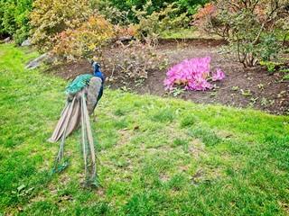 Peacock and fall crocus