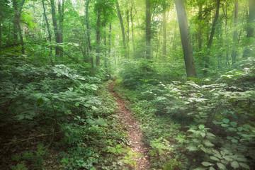 Keuken foto achterwand Bos in mist Light path trough dark forest depth