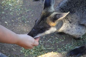 Kangoroo Sydney Australia Wildlife
