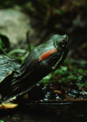 Red-Eared Slider Turtle (Trachemys Scripta Elegans)
