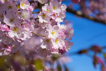 Cherry blossom. Flowering cherry tree. Clear blue sky
