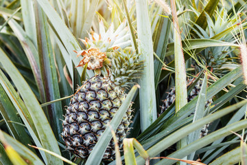 Pineapple in the countryside.