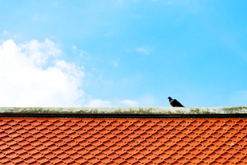 Gray and black dove or pigeon (Columba livia) is standing on orange tile roof at buddhist temple with blue sky and white clouds.