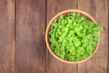Overhead photo of fresh green lemon balm, melissa, in a pot with a place for text