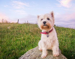 Cute high key portrait of a west highland white terrier dog at dusk sitting on a rock in a field