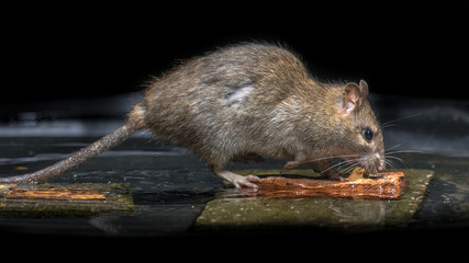 Wild brown rat in water
