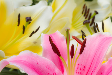 Colorful lily flowers closeup