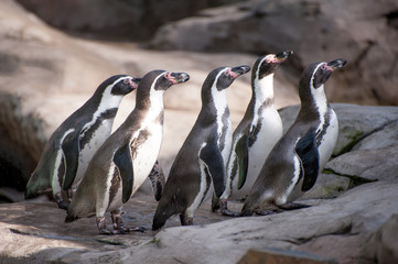 Group of African cute penguins also known as the jackass or black-footed penguin