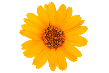 Yellow daisy flower closeup