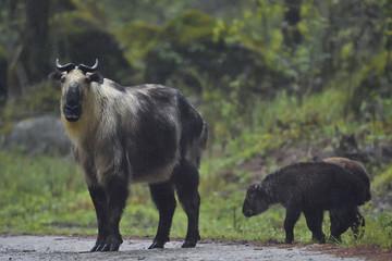 Tibetan takin with calves Tangjiahe National Nature Reserve, China